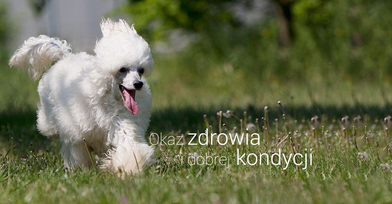 karma royal canin poodle adult 7 5kg ceny i opinie. Black Bedroom Furniture Sets. Home Design Ideas