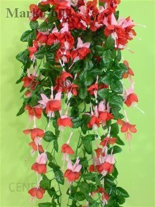 Fuksja Czerwona Róż 22973 Na Balkon Opinie I Atrakcyjne Ceny Na Ceneopl