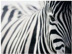 Ikea Pjatteryd Obraz Zebra 30140438