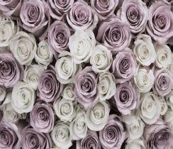 5728265a73f1fc Fototapeta Biało – różowe Róże II 1627