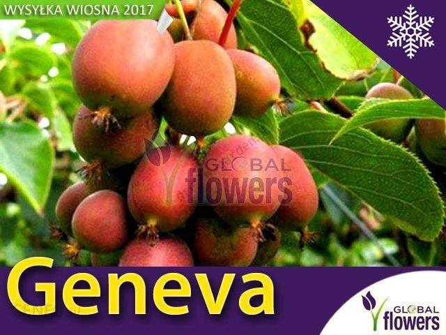 Mini Kiwi (Actinidia arguta) Genewa Ceny i opinie Ceneo.pl