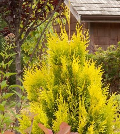 szk ka ogrodnicza thuja tuja golden smaragd janed gold ceny i opinie. Black Bedroom Furniture Sets. Home Design Ideas