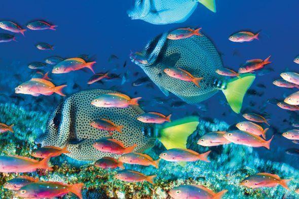 Rafa Koralowa Prionurus Laticlavius Plakat