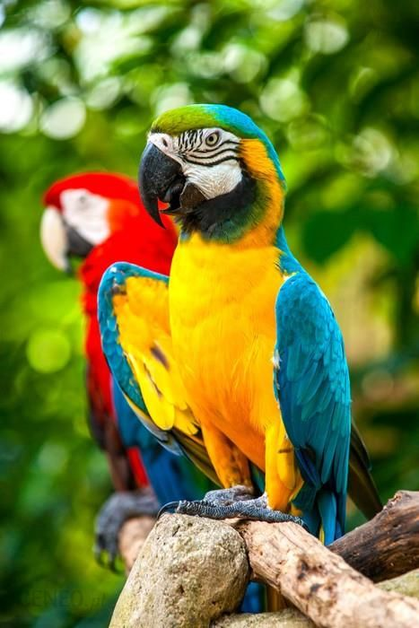 pixers fototapeta kolorowe niebieski papuga ara opinie i ceny na. Black Bedroom Furniture Sets. Home Design Ideas