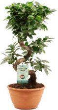 Ficus Ginseng S Shape Doniczka 20 50 Ceny I Opinie Ceneopl