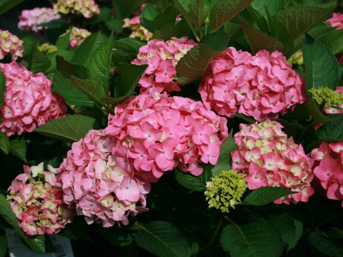 Hortensja Ogrodowa Early Rose Doniczka 5l