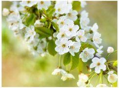 3f126a82b695f9 Fototapeta - Delikatne kwiaty wiśni - 200X154 - Opinie i ceny na ...