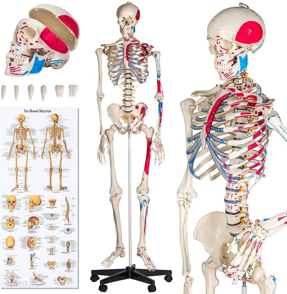 Tec Take Szkielet Anatomiczny Z Numeracją Mięśni
