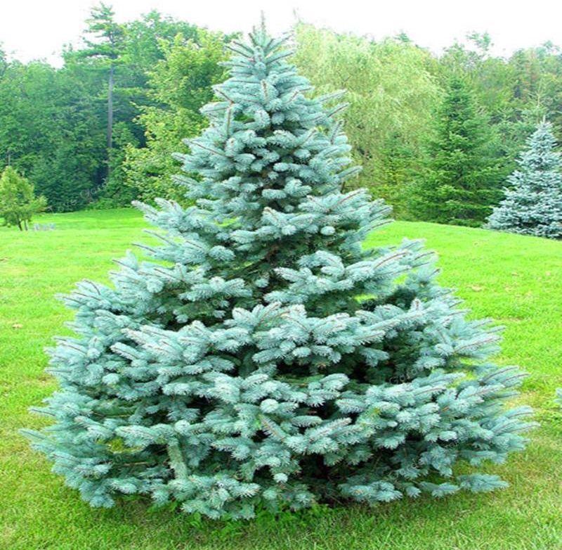 Aliexpress 100 Sztuk Drzewa Bonsai Rzadkie Evergreen Kolorado Blue Spruce Bonsai Picea Pungens Glauca Dobra Do Uprawy W Doniczki Doniczka Sadzarki