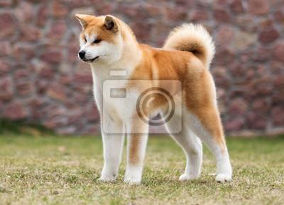 Redro Pl Obraz Akita Pies Japonski Portret Pieszczoch Opinie I Atrakcyjne Ceny Na Ceneo Pl